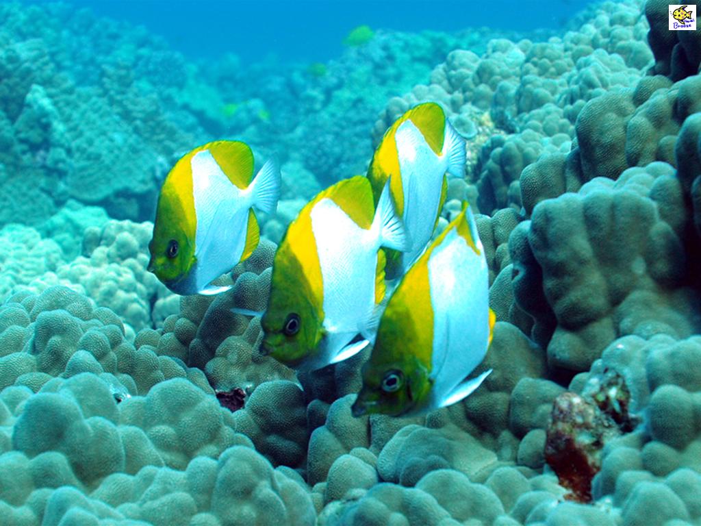 ハワイの壁紙 Under The Water World 海の生物 カスミチョウチョウウオ Hawaii プラスハワイ