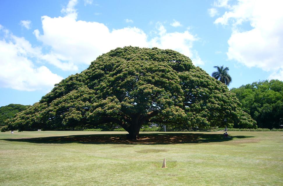この木なんの木 - 日立の樹 (モアナルア・ガーデンパーク)[オアフ島 ...